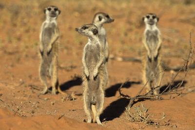 Meerkats (Suricata Suricatta) Standing Alert, Kgalagadi Transfrontier Park, Northern Cape-Ann & Steve Toon-Photographic Print
