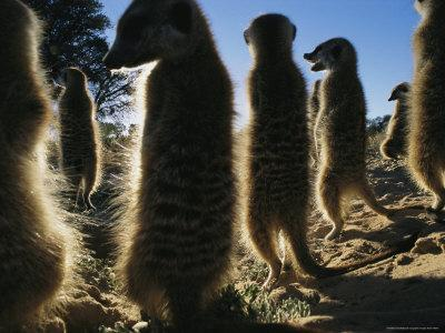 https://imgc.artprintimages.com/img/print/meerkats-warm-themselves-in-the-sun-after-a-chilly-desert-night_u-l-p5visc0.jpg?p=0