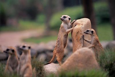 https://imgc.artprintimages.com/img/print/meerkats-working_u-l-q1gq4eg0.jpg?p=0