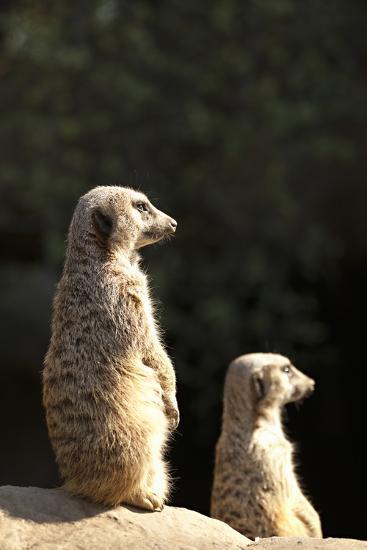 Meerkats-Karyn Millet-Photographic Print