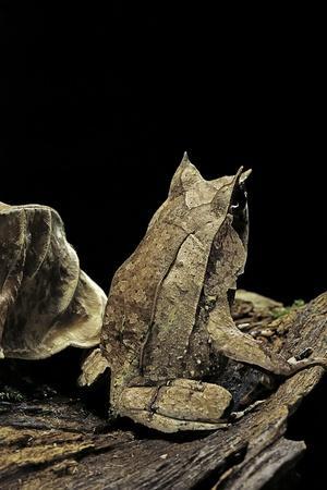 Megophrys Nasuta (Malayan Horned Frog, Long-Nosed Horned Frog, Malayan Leaf Frog)-Paul Starosta-Photographic Print