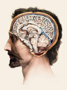 Brain Anatomy by Mehau Kulyk