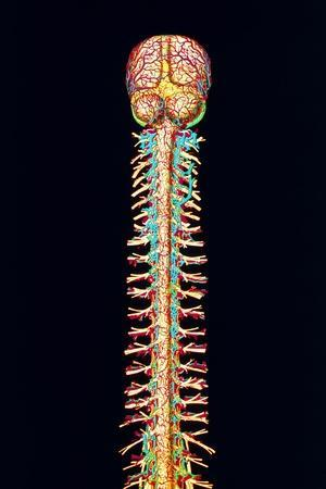 Illustration of the Human Spinal Cord And Brain