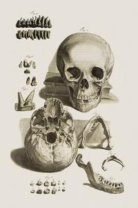 Skull, Jaw Bone And Teeth by Mehau Kulyk
