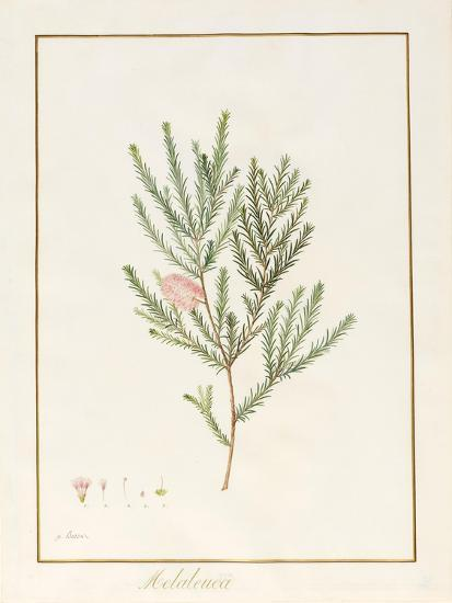 Melaleuca, Including Five Studies of the Bloom (W/C and Bodycolour on Vellum)-Pancrace Bessa-Giclee Print