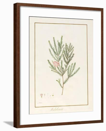 Melaleuca, Including Five Studies of the Bloom (W/C and Bodycolour on Vellum)-Pancrace Bessa-Framed Giclee Print