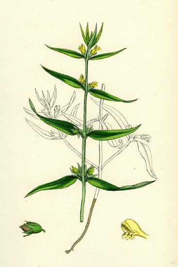 Melampyrum Sylvaticum Wood Cow-Wheat--Giclee Print