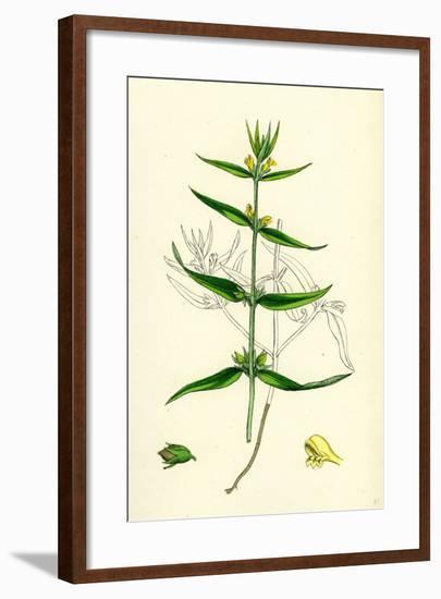 Melampyrum Sylvaticum Wood Cow-Wheat--Framed Giclee Print