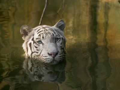Melanistic or White Bengal Tiger (Panthera Tigris Tigris) Wading Through Water, Native to Asia-Cyril Ruoso-Photographic Print