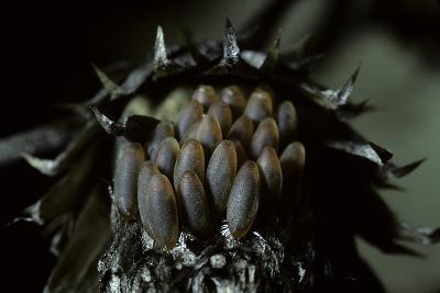 Melasoma Populi (Broad-Shouldered Leaf Beetle, Balsam Poplar Leaf Beetle) - Eggs-Paul Starosta-Photographic Print