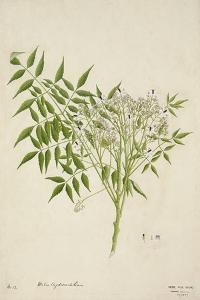 Melia Azedarach Linn, 1800-10