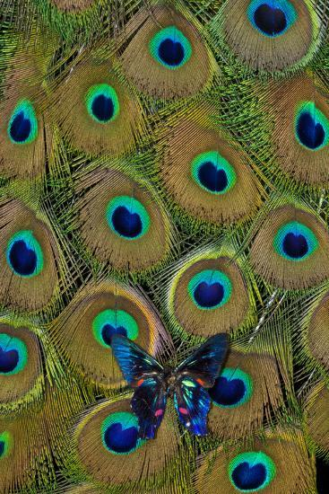 Meliboeus Swordtail Butterfly on Peacock Tail Feather Design-Darrell Gulin-Photographic Print
