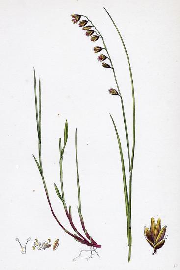 Melica Nutans Nodding Melic-Grass--Giclee Print