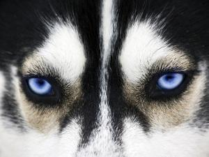 Close Up On Blue Eyes Of A Dog by melis
