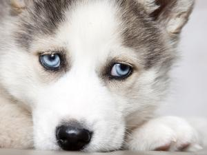 Close Up On Blue Eyes Of Cute Siberian Husky Puppy by melis