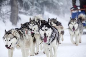 Dog-Sledding with Huskies by melis