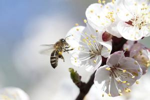 Honey Bee Enjoying Peach Blossom on a Lovely Spring Day by melis