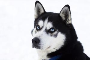 Husky Portrait by melis