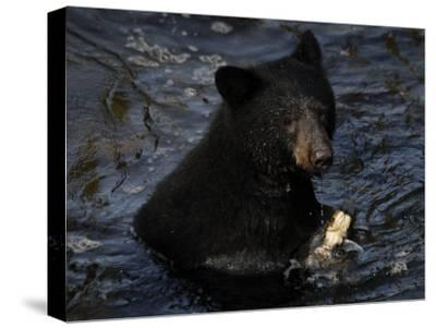 A black bear feeds on salmon in Anan Creek