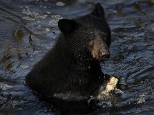 A black bear feeds on salmon in Anan Creek by Melissa Farlow
