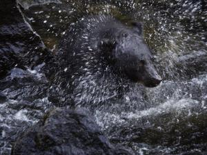 A black bear hunting for salmon in Anan Creek by Melissa Farlow