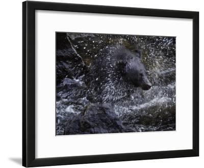 A black bear hunting for salmon in Anan Creek