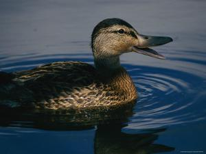 A Duck Swims in the Marshes of the Meadowlands by Melissa Farlow