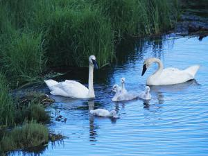 A Family of Trumpeter Swans Swims in the Water by Melissa Farlow