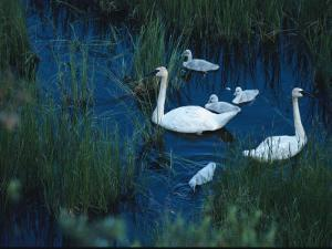 A Family of Trumpeter Swans Swims Near Denali National Park by Melissa Farlow