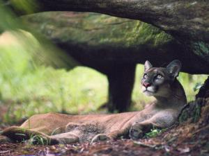 A Florida panther by Melissa Farlow