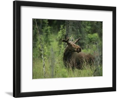 A Moose Stands in Tall Grass