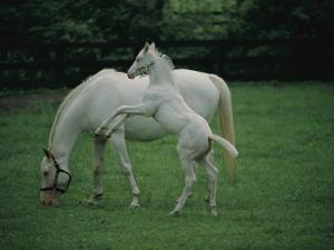 A Pure White Thoroughbred Mare and Her Foal by Melissa Farlow