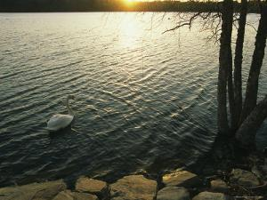 A Swan Glides Across the Surface of Jamaica Pond at Sunset by Melissa Farlow