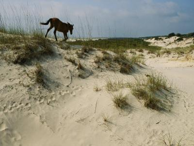 A Windblown Wild Horse Traverses a Sparsely Vegetated Dune on the Island by Melissa Farlow