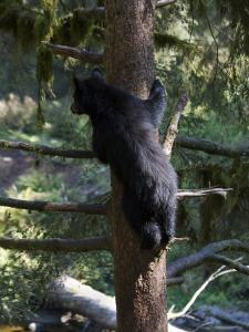 Black Bear Climbing Tree in Tongass National Forest by Melissa Farlow