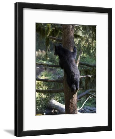 Black Bear Climbing Tree in Tongass National Forest