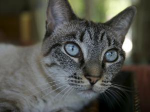 Blue Eyed Rescued Feral Cat by Melissa Farlow