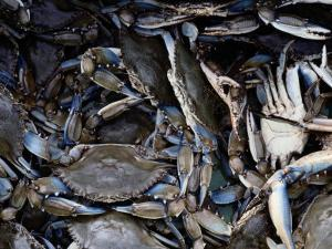 Close-up of Blue Crabs Caught in a Crab Pot by Melissa Farlow