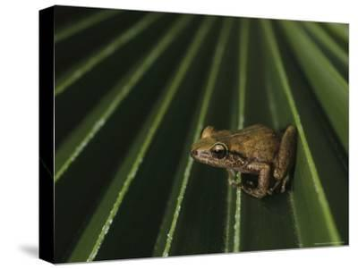 Coqui Frogs Invaded the Hawaiian Islands From Imported Plants
