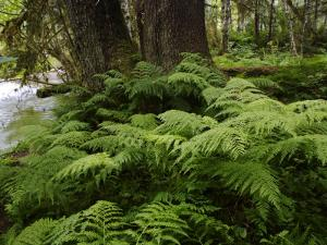 Ferns in Tongass National Forest by Melissa Farlow