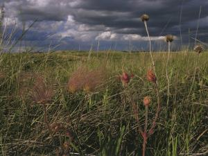 Field with Blooming Prairie Smoke Flowers by Melissa Farlow
