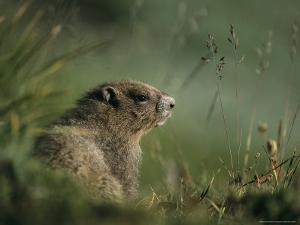 Groundhog Sitting in a Grassy Setting by Melissa Farlow