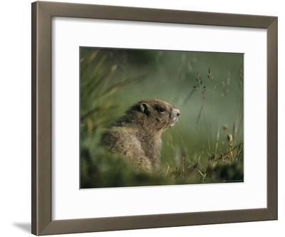 Groundhog Sitting in a Grassy Setting
