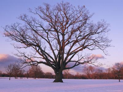 Lone Oak Tree in Delaware Park
