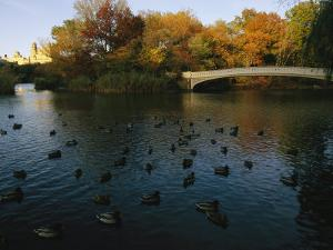 Mallard Ducks Gather at Dusk Near a Bridge on a Central Park Lake by Melissa Farlow