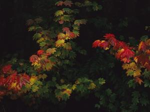 Maple Leaves in Autumn Colors by Melissa Farlow