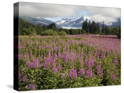 Meadow of Blooming Fireweed Frames Mendenhall Glacier, Juneau, Alaska