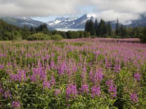 Meadow of Blooming Fireweed Frames Mendenhall Glacier, Juneau, Alaska by Melissa Farlow