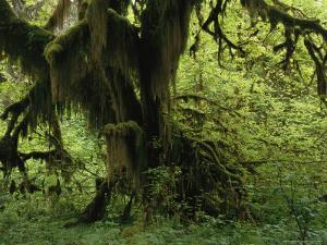 Moss Covered Tree in a Lush Green Rain Forest Setting by Melissa Farlow
