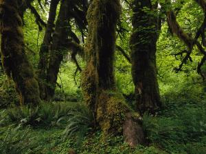 Moss Covered Trees in a Lush Green Rain Forest Setting by Melissa Farlow